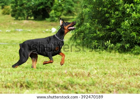 black Doberman Pinscher dog running fast in the summer on the green grass