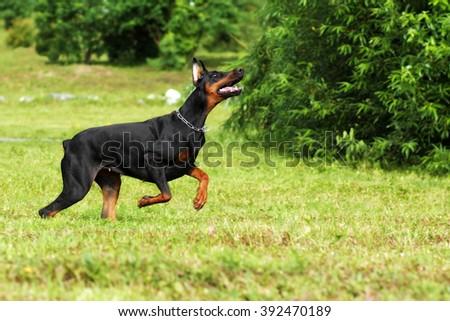 black Doberman Pinscher dog running fast in the summer on the green grass - stock photo