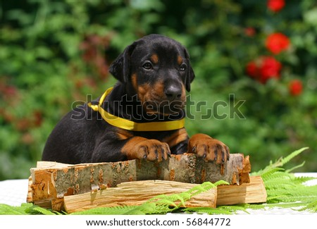Black dobermann puppy lying on a wooden plate - stock photo
