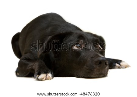 black dog - stock photo