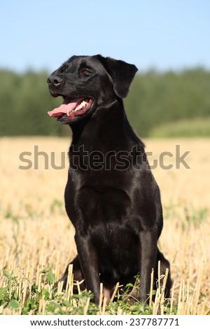 black dog at a field - stock photo