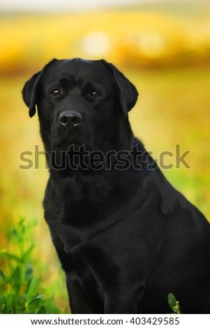 Black dog breed Labrador Retriever walks outdoors in the summer at sunset closeup - stock photo