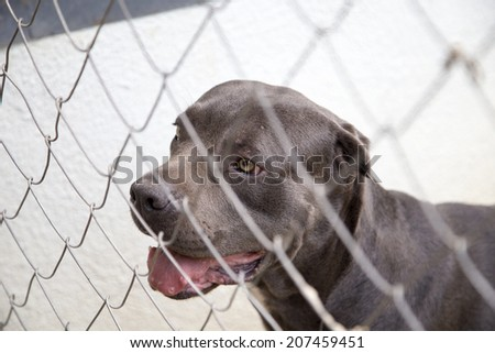 Black Dog Canne Corso Looking out From Behind the Wire Mesh - stock photo
