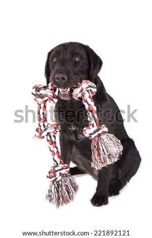 Black dog holding a toy on white background - stock photo