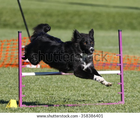 Black dog hurdling over a jump at an agility event - stock photo