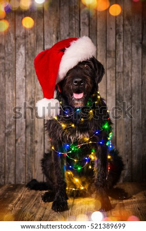 Black dog in santa outfit and christmas little lights.