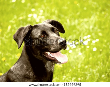 black dog (32) in the meadow, labrador mixed breed - stock photo
