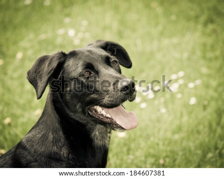 black dog in the meadow, labrador mixed breed - stock photo