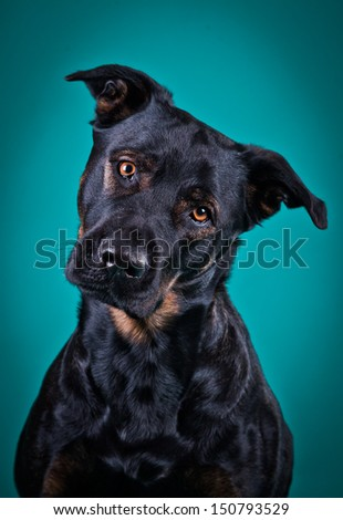black dog, obedient, bright eyes, a breed - stock photo
