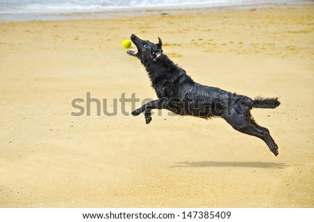black dog on the beach jumping for the yellow ball - stock photo