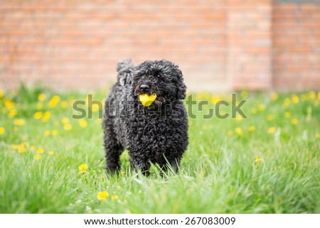 Black dog playing in spring garden - Hungarian Puli - stock photo