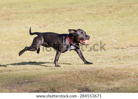 Black dog playing with a ball in the park - stock photo