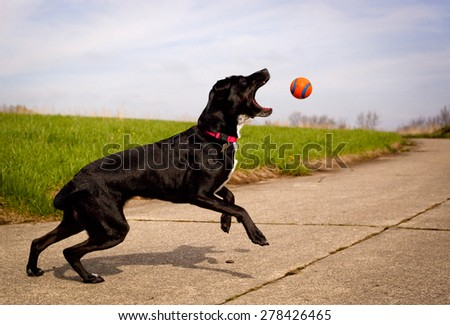 Black dog reaching for orange ball - stock photo