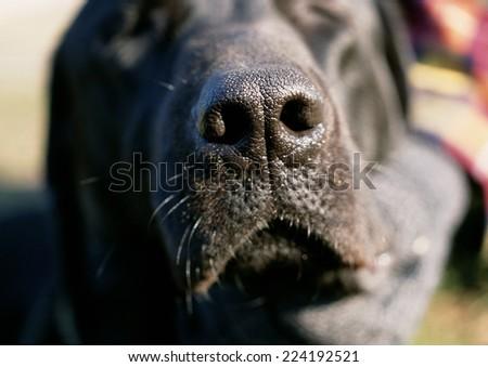 Black dog's nose. - stock photo
