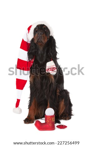 black dog sits in a cap of Santa Claus, isolated white background - stock photo