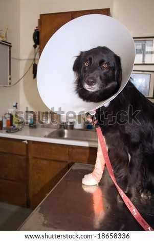 Black dog with a wounded leg and paw at the Veterinarian - stock photo