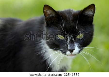 Black domestic cat - stock photo