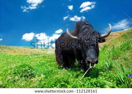 Black domesticated yak eating grass - stock photo