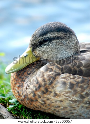 Black duck head close-up