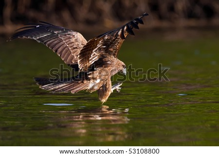 Black Eared Kite - stock photo