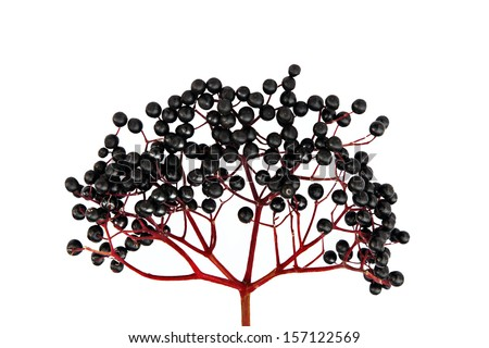 Black Elderberry isolated on white background - stock photo
