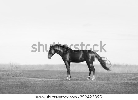 black equestrian horse standing on the field - stock photo