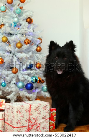 Black Eurasier dog sitting by the christmas tree with some gift boxes.