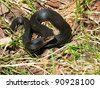 Black European adder - stock photo
