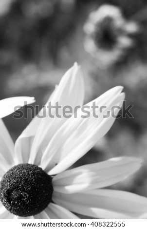 black-eyed Susan blooming on the field; in the summer/black-eyed Susan - stock photo