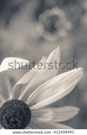 black-eyed Susan blooming on the field, in the summer/black-eyed Susan - stock photo