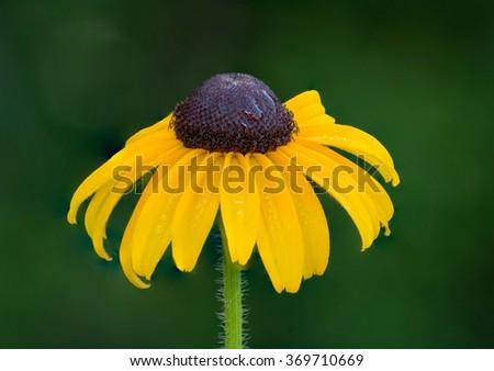 Black-eyed Susan flower closeup in the rain. - stock photo
