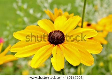 Black Eyed Susans blooming in a garden