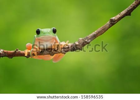Black Eyed Treefrog hanging on a branch - stock photo