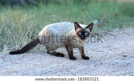 Black face cat with blue eyes - stock photo