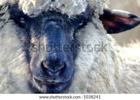 Black Face Sheep - stock photo