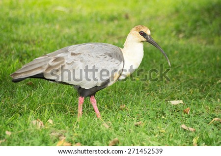 black faced ibis Theristicus melanopis standing on a grassy field - stock photo