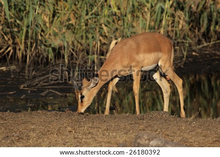 Black Faced Impala (Aepyceros melampus petersi) in the Etosha National Park, Namibia