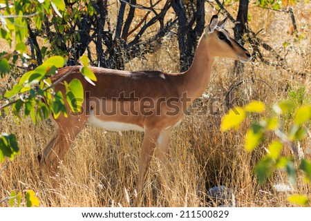 Black-faced impala between grass and trees Namibia. Endangered specie Africa. - stock photo
