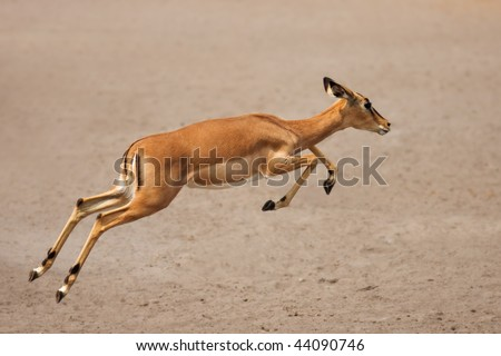 Black-faced impala (female) running over sandy plains of Etosha at waterhole; Aepyceros melampus petersi - stock photo