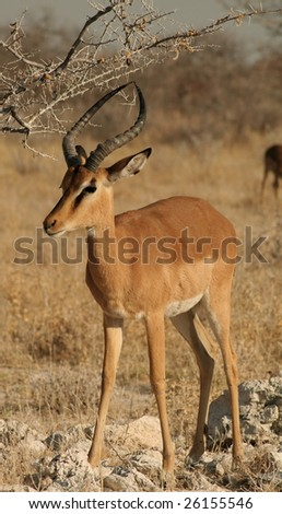 Black faced impala in Etosha