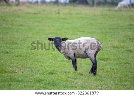 Black faced sheep in a field devon england uk