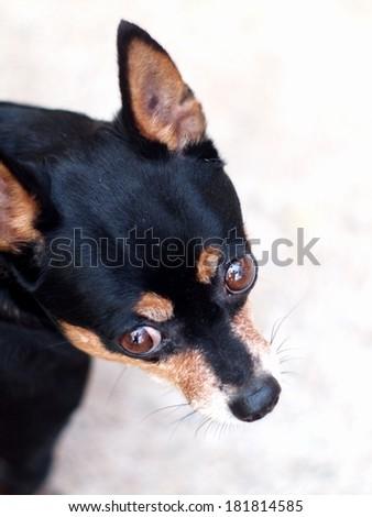 black fat lovely cute miniature pincher dog head shot close up  - stock photo