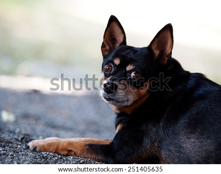black fat lovely miniature pinscher dog laying resting on the country house path way portraits view close up - stock photo