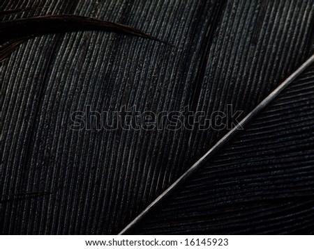 black feather  of crow. Crimea - stock photo