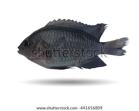 Black fish on white/Damsel fish/coral reef fish/swimming tropical fish  - stock photo