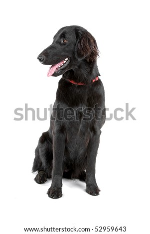 black flat coated retriever on a white background - stock photo