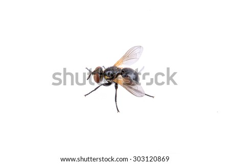 Black fly isolated on a white background - stock photo