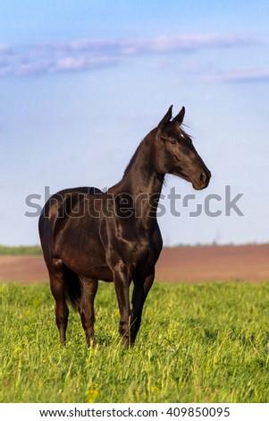Black foal on pasture - stock photo