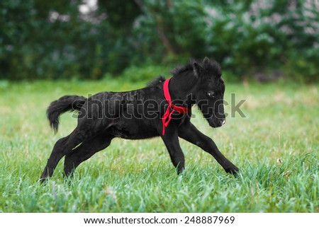 black foal running on the green field - stock photo