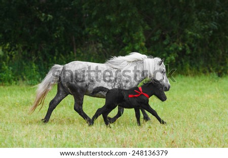 black foal with mother walking on the field - stock photo